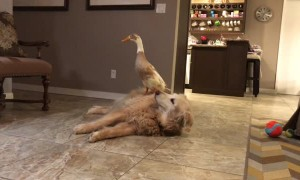 A Duck Lands on a Dog