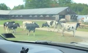 Kids Help Herd The Cows