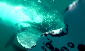 Humpback whale bumps into free diver's camera