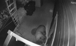 Bear Tries to Break In