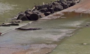 Cranky Crocs Feast on Fish