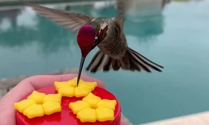 Hummingbird Scratches an Itch
