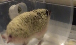 Hedgehog Can Really Run