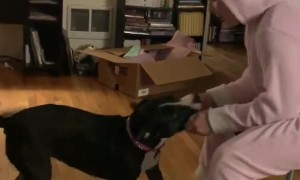 Competitive dog pulls human all across room during tug-of-war match