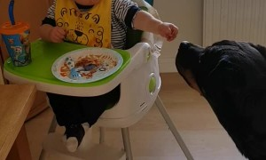 Boy Shares Dinner with Friendly Rottweiler