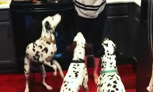 Dalmatian trio perform simultaneous flip for treats