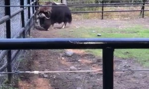 Male Musk Ox Means Business