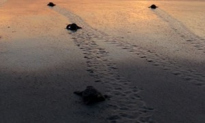 Bale of Baby Sea Turtles Flap Towards the Ocean