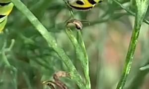 Hungry Caterpillar Enjoys Breakfast