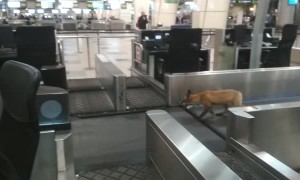 Fox Trots Around Russian Airport