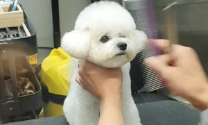 Cute little puppy gets fresh new haircut