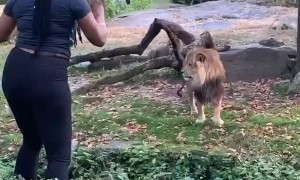 Woman Enters Lions Enclosure