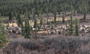 Migrating Caribou on the Move