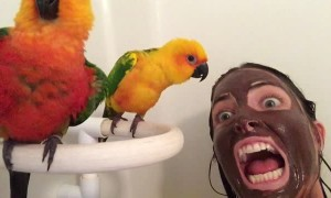 Conures Confused by Mud Mask