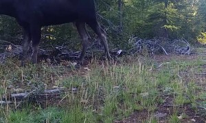 Bull Moose Mosies By in Montana