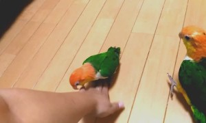 Pair of Playful Baby Parrots