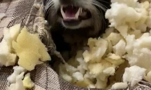 Mischievous Pet Raccoon Burrows inside Couch