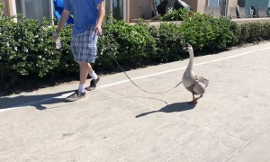 Taking a Goose for a Walk