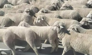 Sheep Herd Walks Along Highway