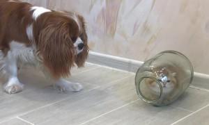Kitten Hides from Dog in Glass Jar