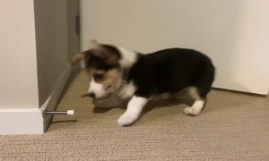 Corgi Disapproves of Doorstops