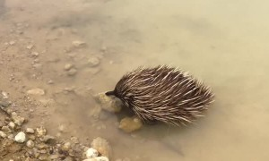 Echidna Goes For a Swim