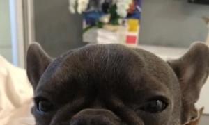 French Bulldog Enjoys his Binky