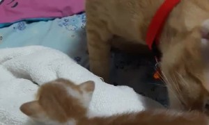 Big Brother Shows Kitten Where the Food Bowl Is