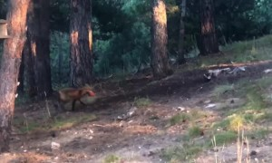 Fox Has Fun with Dog's Toy