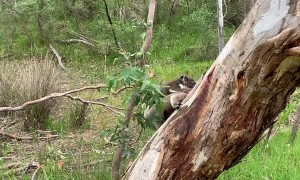 Koala Carries Joey on Treetop Climb