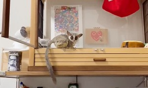 Bushbaby Makes a Large Leap