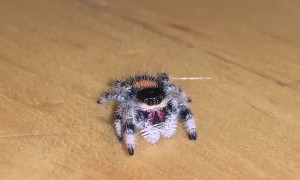 Friendly Soroa Jumping Spider Wanders across Wood