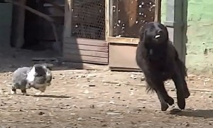 Rabbit hilariously chases playful dog around yard
