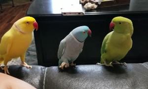 Parrot's Hand Signals Impress Peers