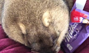 Pet Groundhog Munches on Chocolate