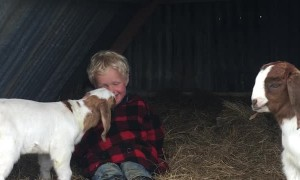 Goat Kid Wants his Human Friend to Come Play
