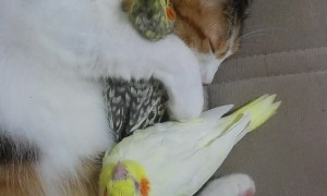 Cute Birds Cuddled by Cat