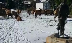 Elk Congregate in Town Park
