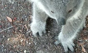 Cute Little Koala Comes up for a Cuddle