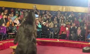 Russian Circus Bear Had Enough of His Trainer