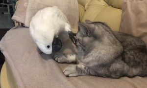 Cockatoo Interupts Cat Nap