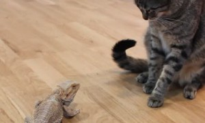 Friendly bearded dragon meets the family's curious cat