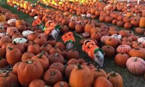 Pigs in a Pumpkin Patch