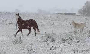 Horses Enjoying the First Snow Fall of the Year