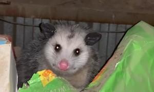 Politely Solving Possum Problems