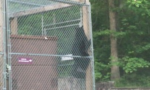 Deft Black Bear Breaks into Dumpster