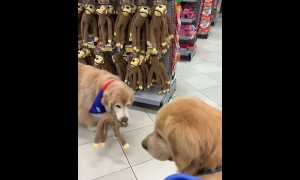 Golden Retriever picks out new toy at pet store