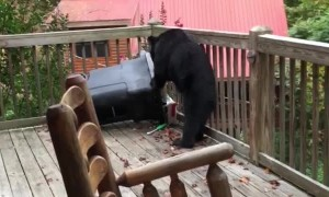 Black Bear on the Back Deck