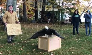 Bald Eagle Freed From Box