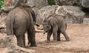 Baby elephants take part in adorable
